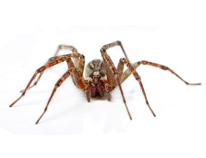 how to get rid of hobo spiders in your house