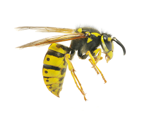 Yellow Jackets & Wasps